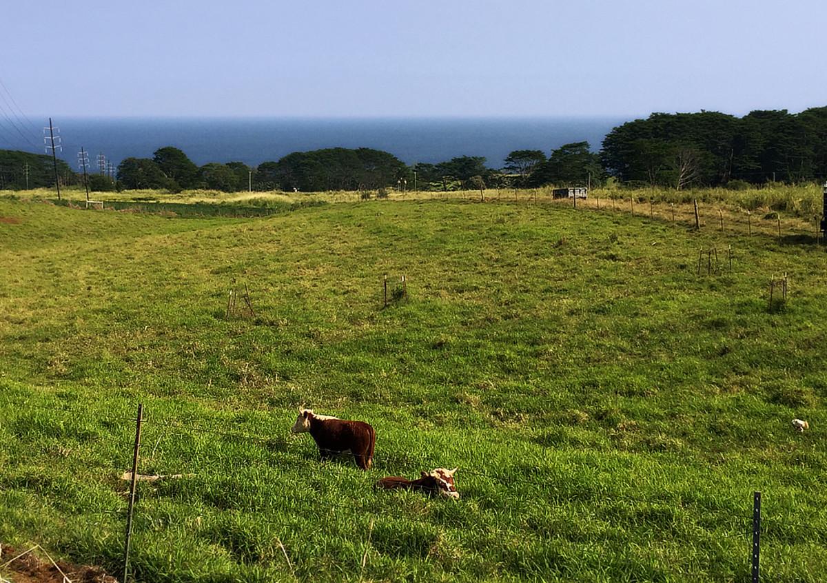 Cattle ranch near Pepe'ekeo village.
