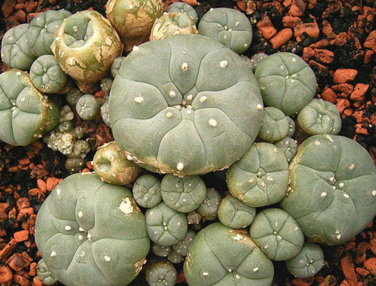 Peyote Cacti Containing Mescaline.