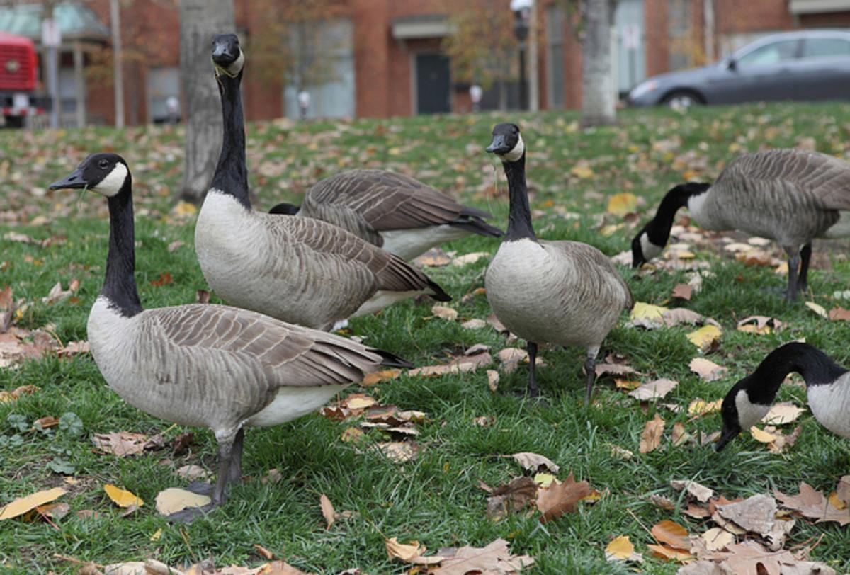 Park geese.