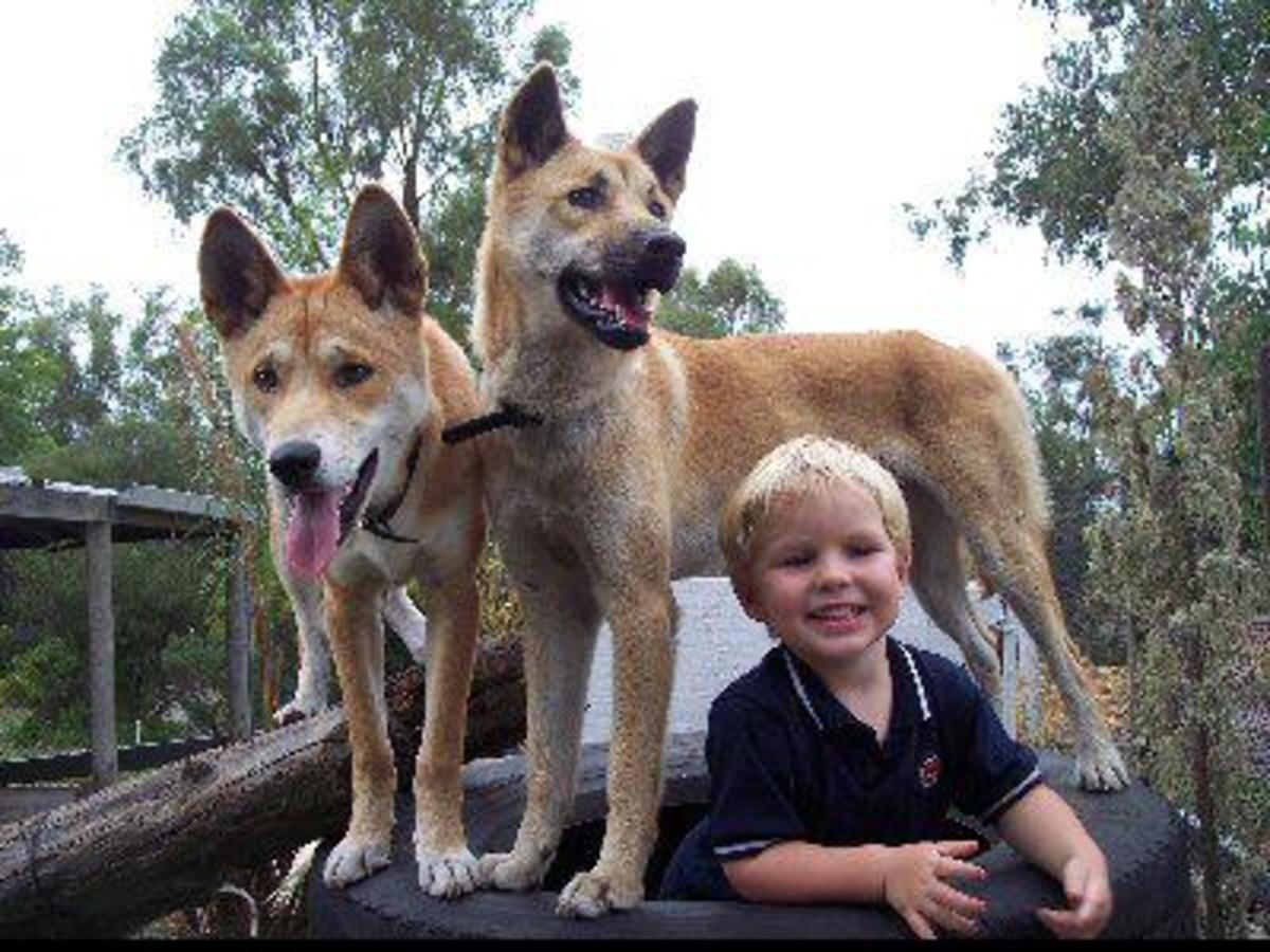 Pet Australian Dingo
