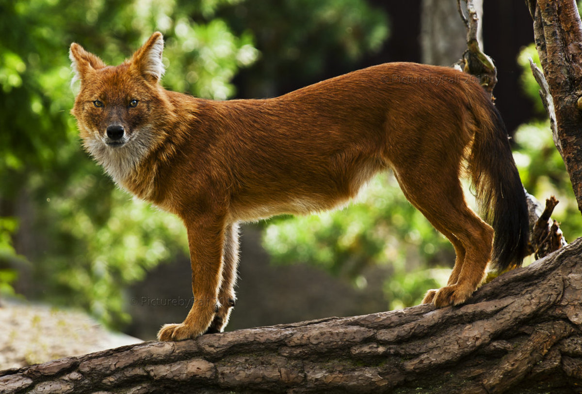 Indian Wild Dog (Dhole)
