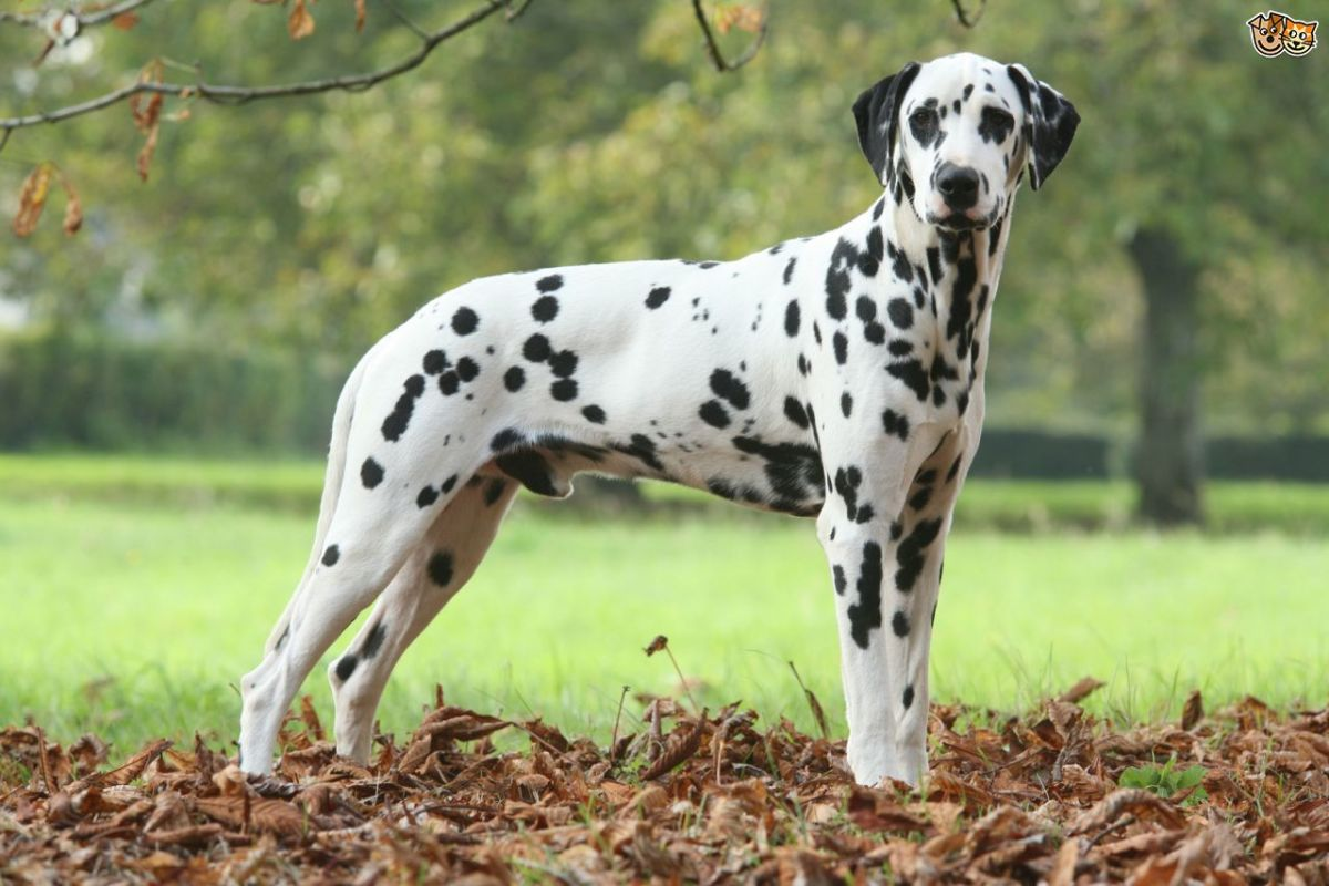 10-most-expensive-dog-breeds-in-pakistan