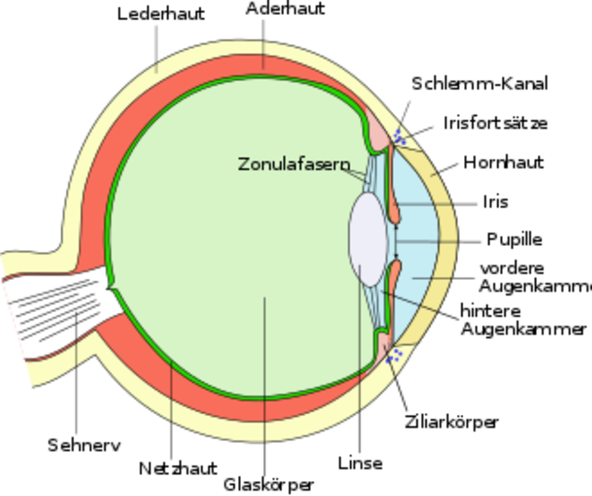 Cross section of the eye-ball showing position of pupil and optic nerve