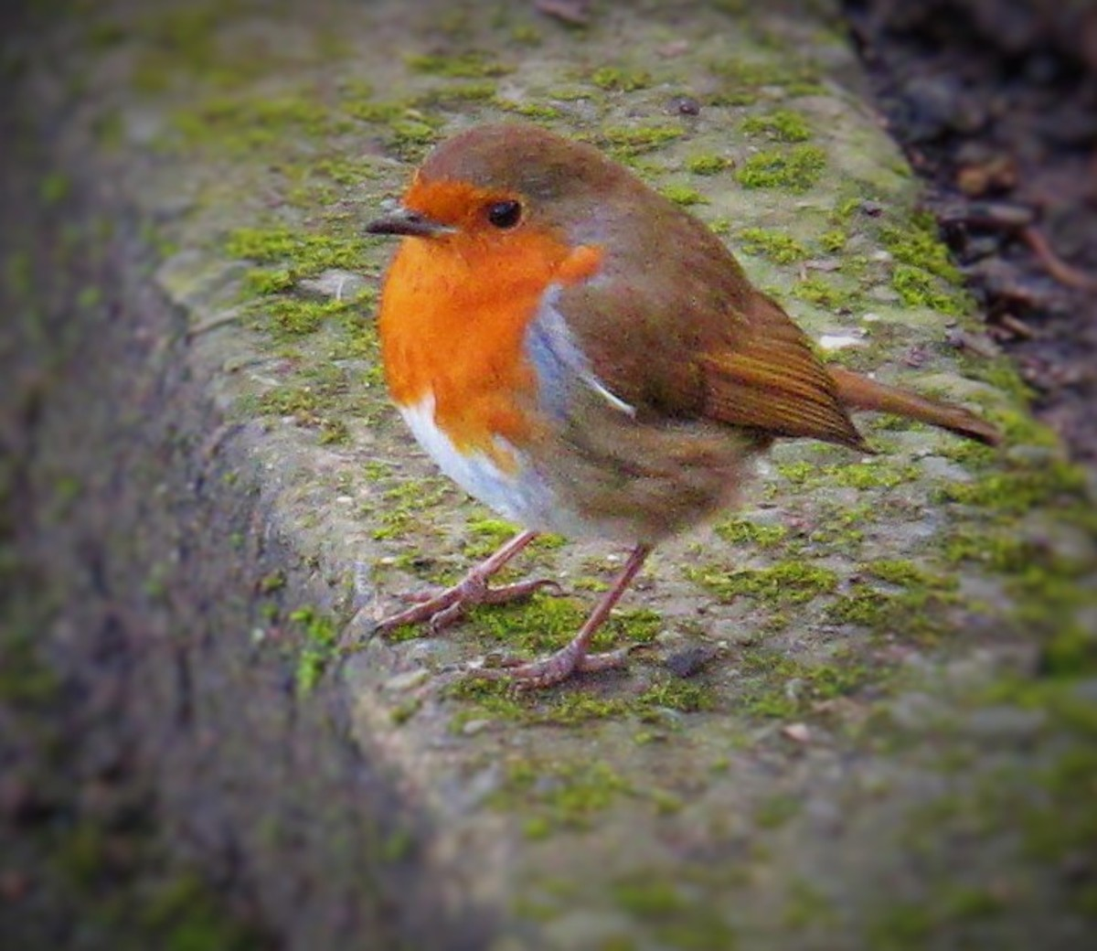 As you can see, this robin's breast is clearly orange!