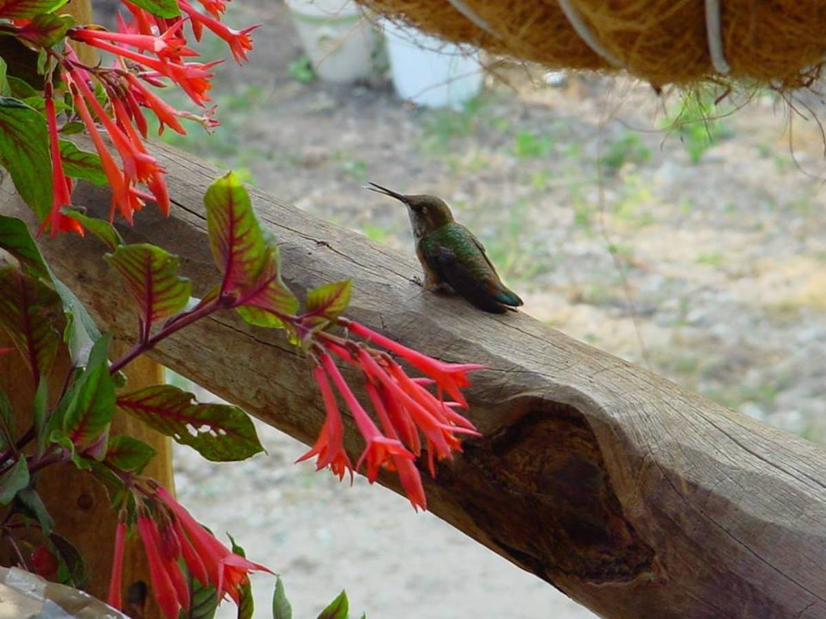 Attracting Hummingbirds to Your Backyard Habitat