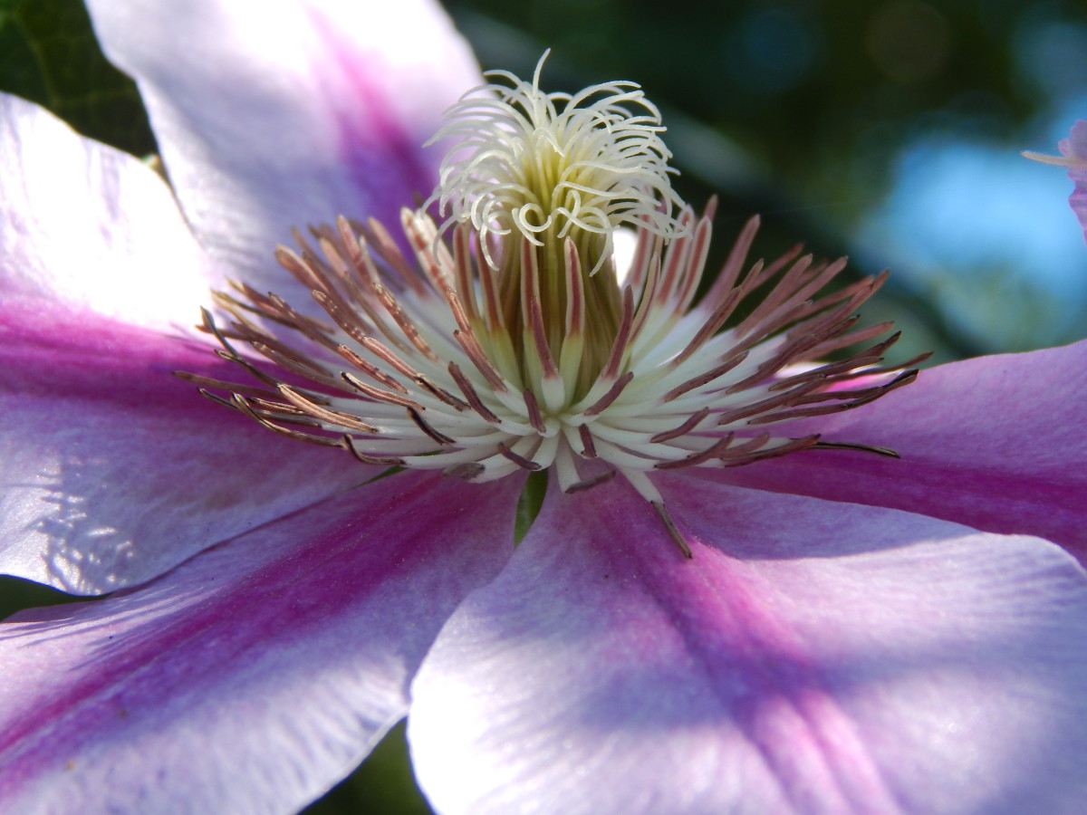 Cultivated Clematis