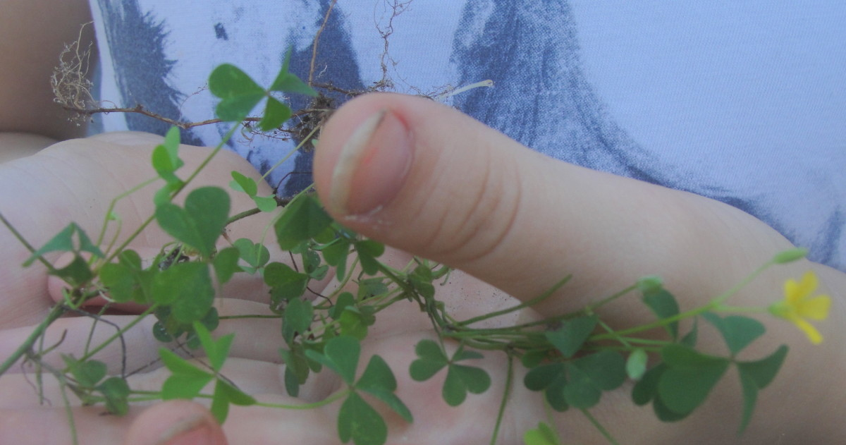 Examining clover, part of the pea family