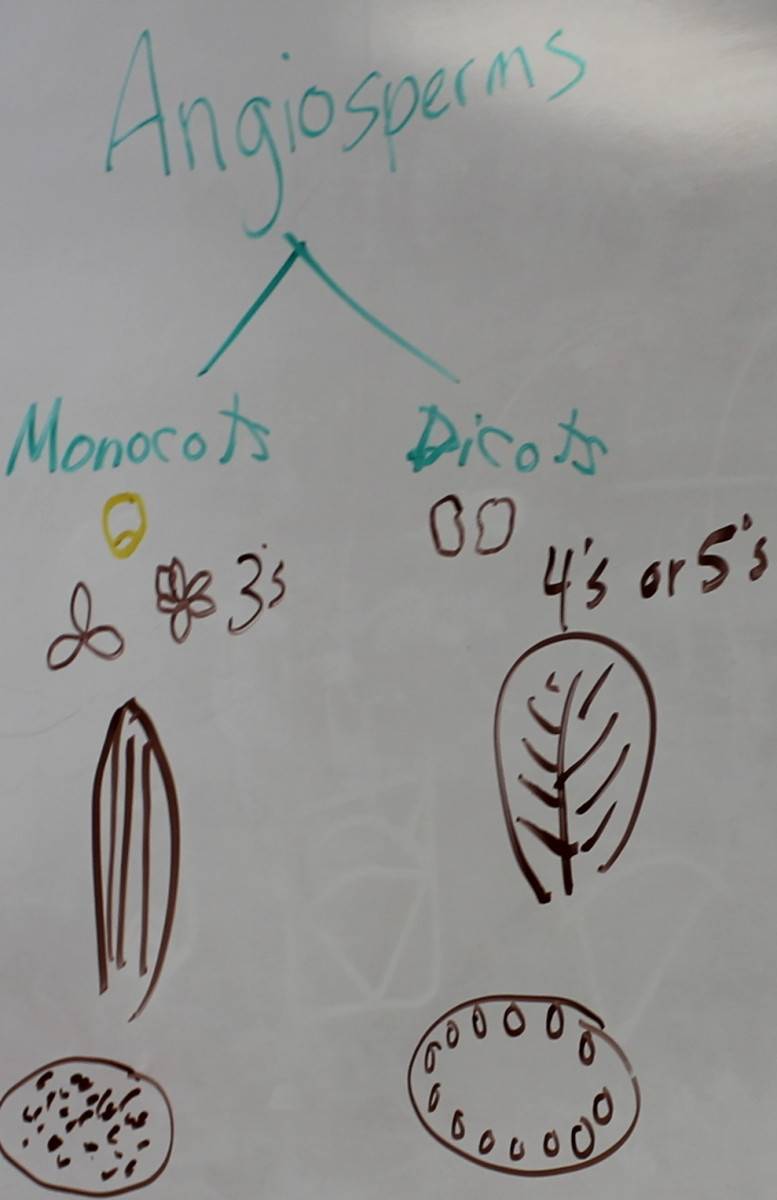 Differences between monocots and dicots