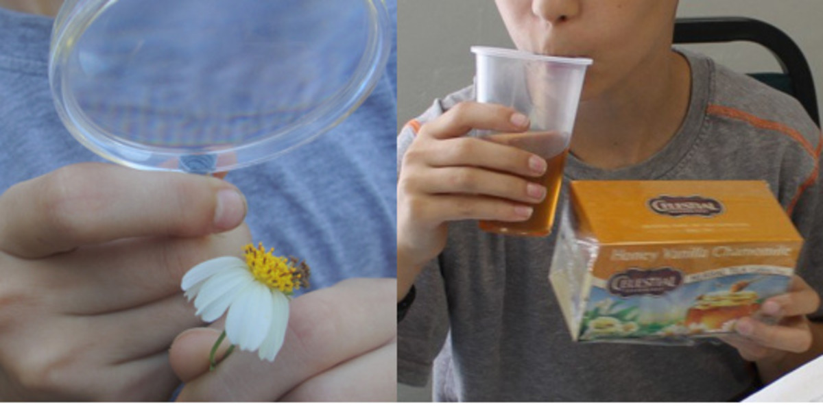 Examining a Spanish needle composite flower and trying chamomile tea, which is made from a composite flower