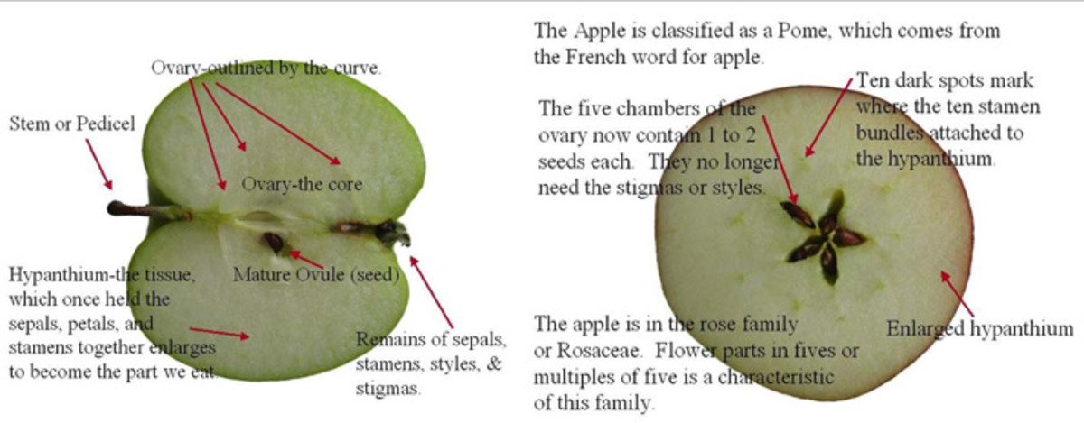 Apple plants are part of the rose family