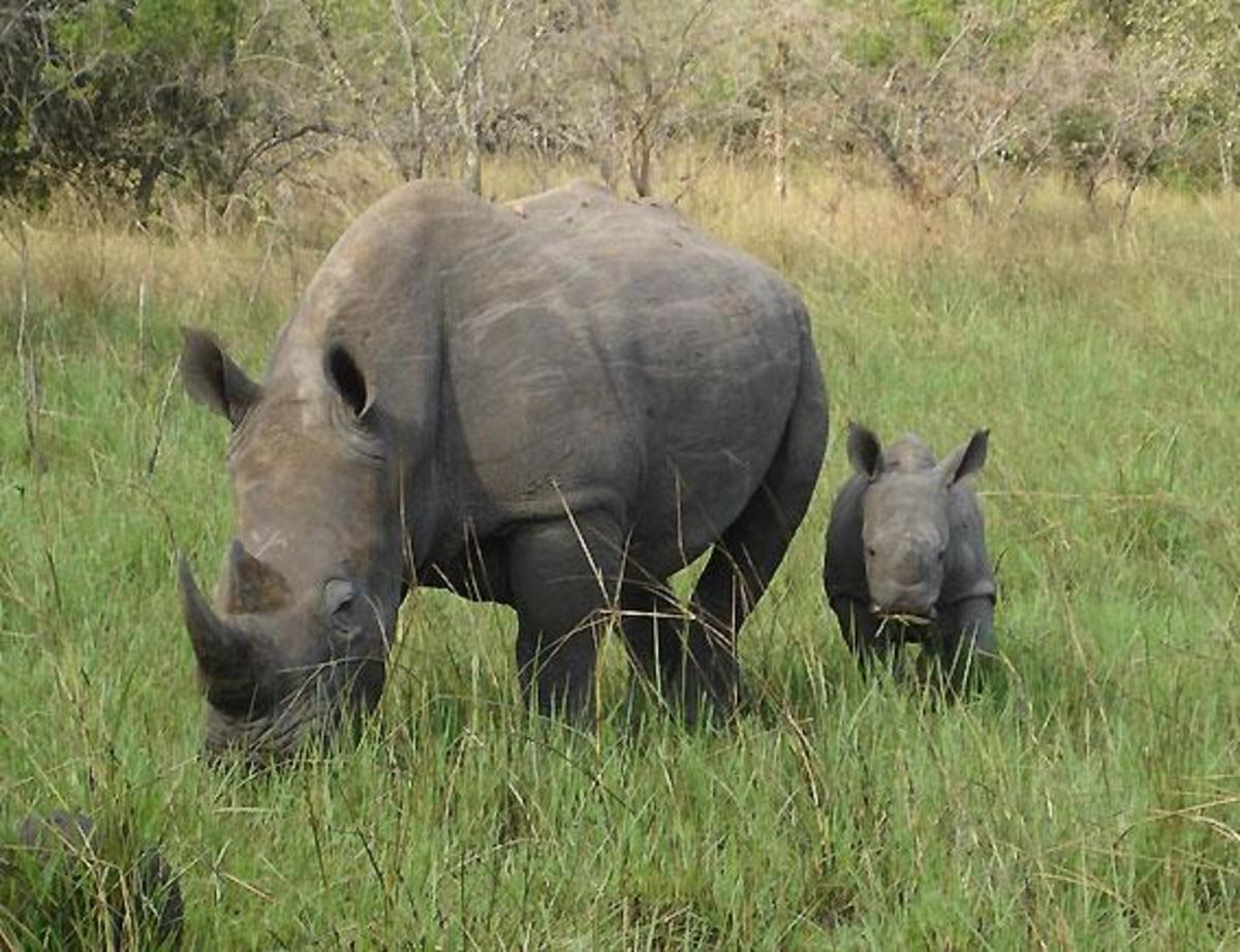 White Rhinoceros - a member of big 5 animals. very difficult to hunt. Image Credit: Princess.Tilly, Wikimedia commons