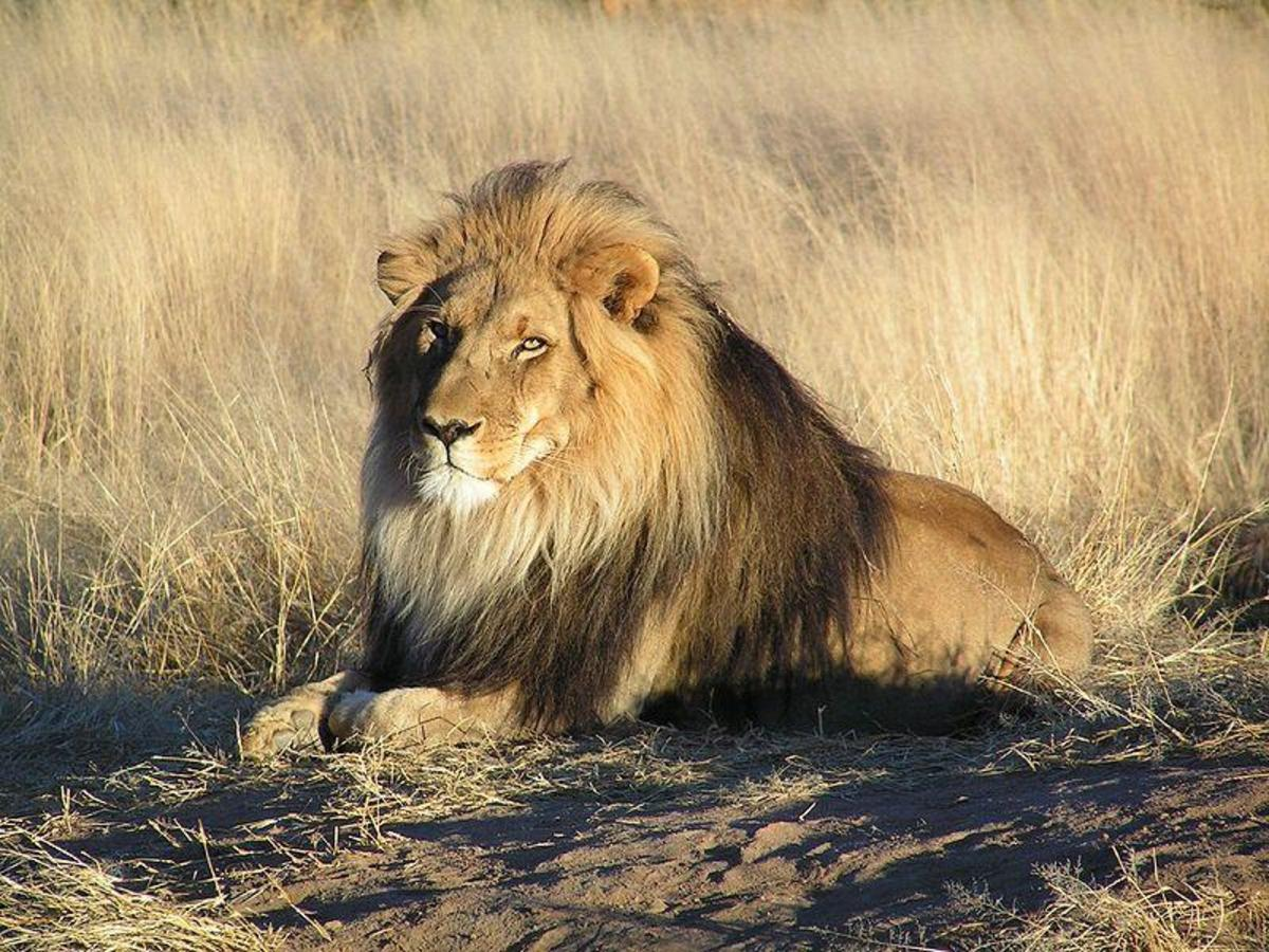 Male Lion showing manes - one of the big 5 animals that is the most dangerous.Image credit: yaaaay , Wikimedia commons