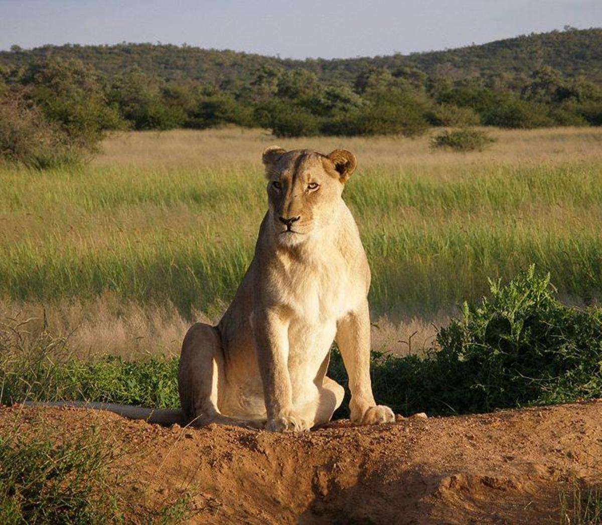 Lioness - she has no manes. She does most of the work in a pride. Image credit: Falense , Wikimedia commons