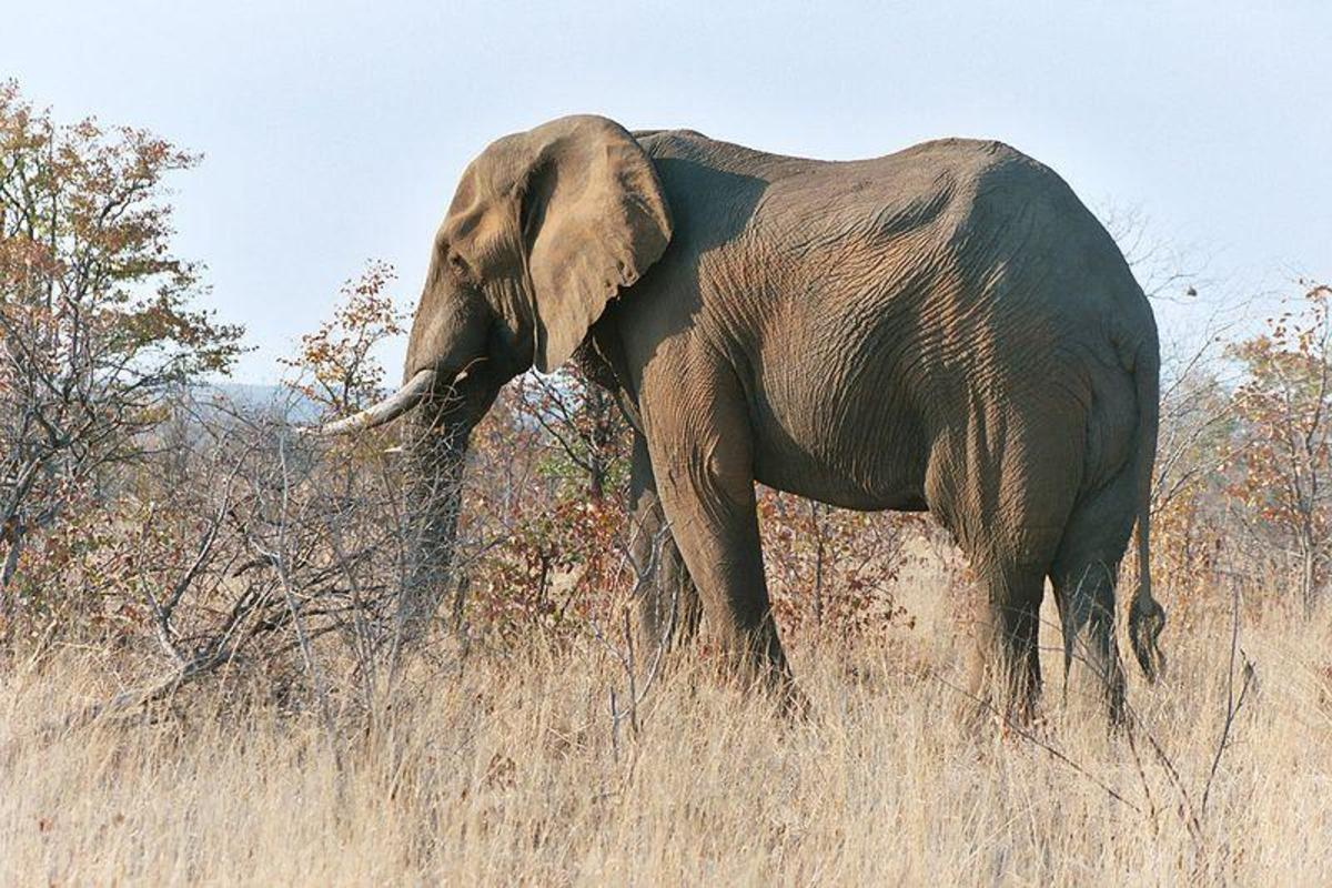 African Elephant - classified as one of the big 5 animals based on the difficulty in it. Image Credit: Rob Hooft, Wikimedia commons