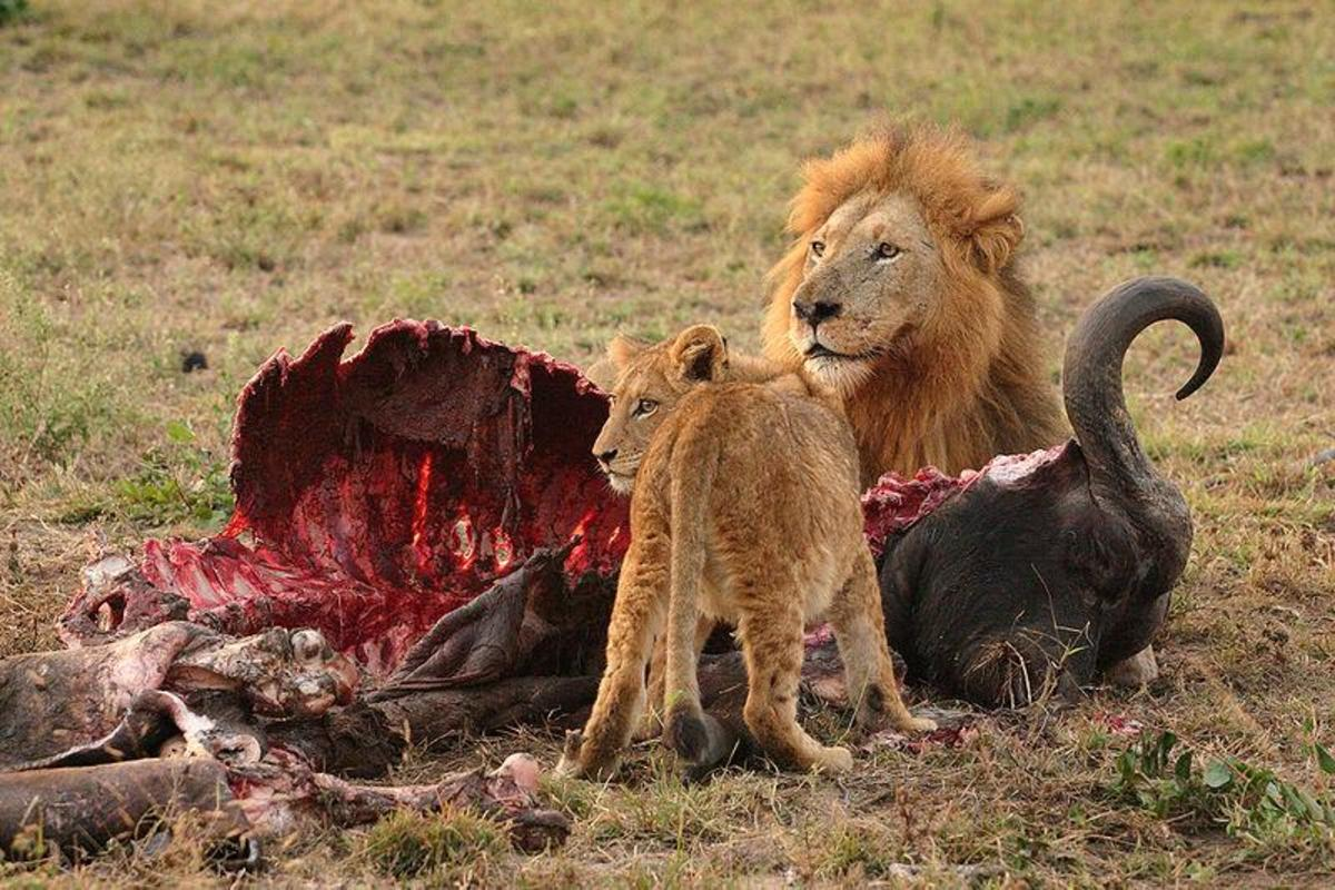 Lions Feeding - The Lions can feed on Masai cattle as well. Image credit: http://www.galuzzi.it, Wikimedia commons