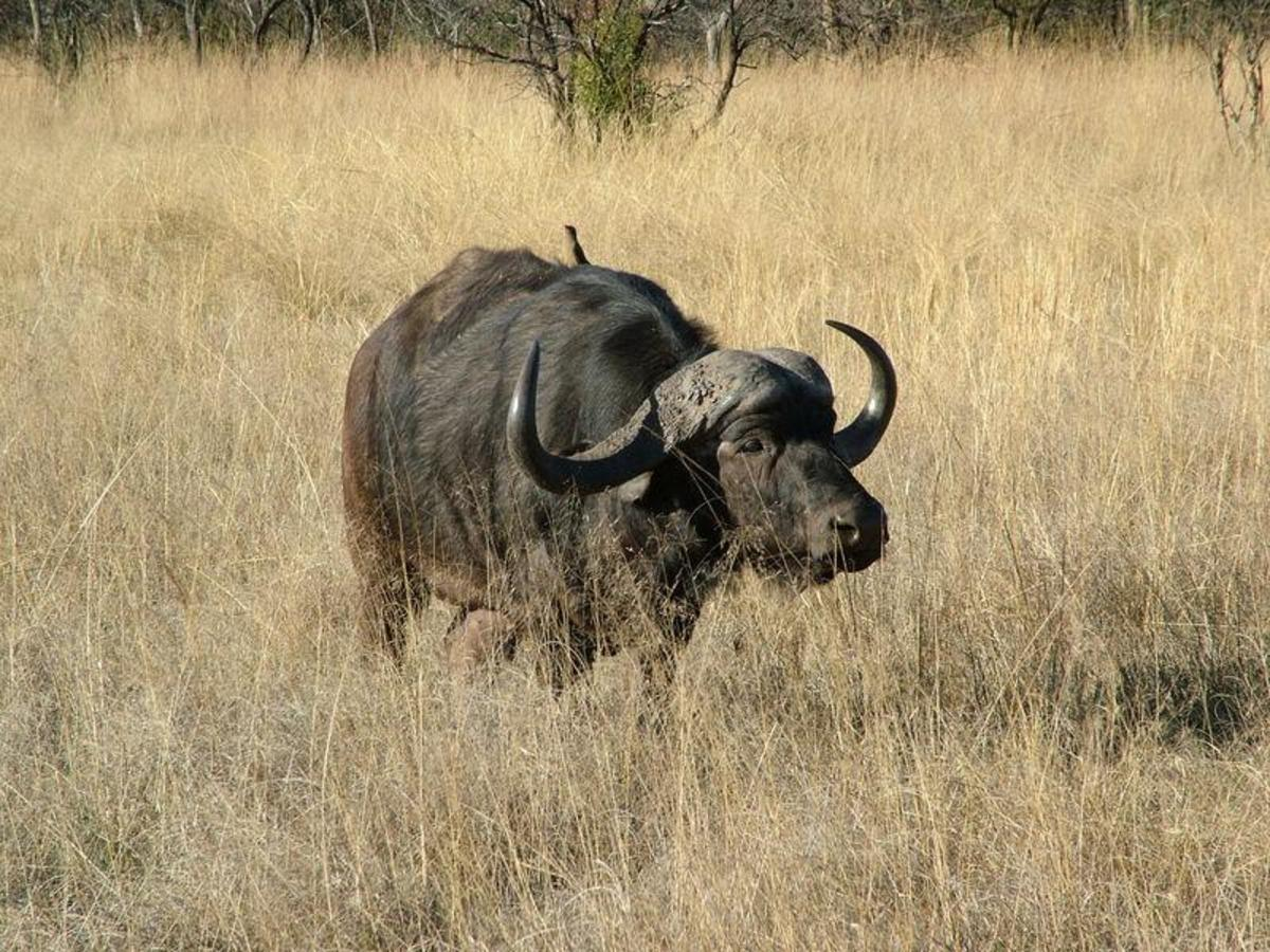 African Buffallo - one of the biggest killer of humans. A member of the big 5 game. Image Credit: Mabula Game Reserve, Wikimedia commons