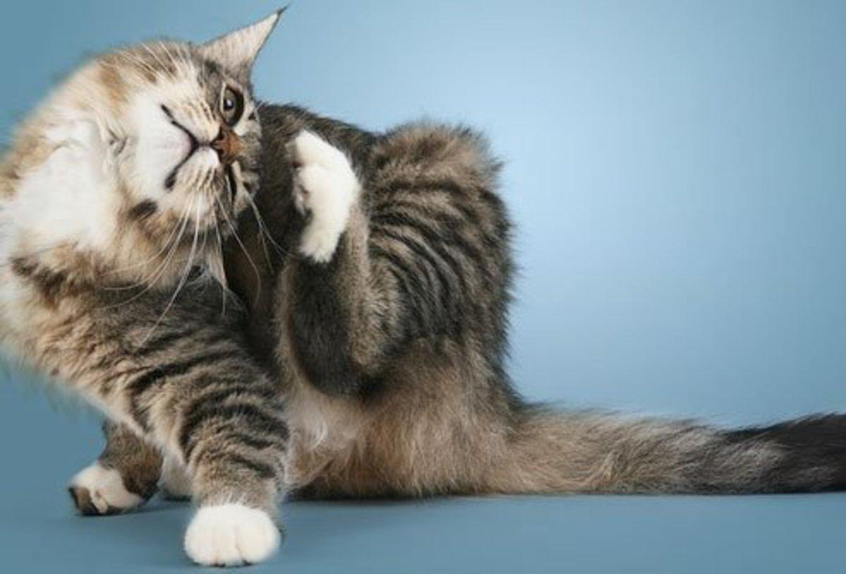 cat-skin-problems