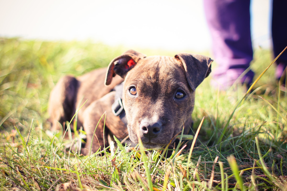 what-you-need-to-know-on-staff-puppies-for-sale