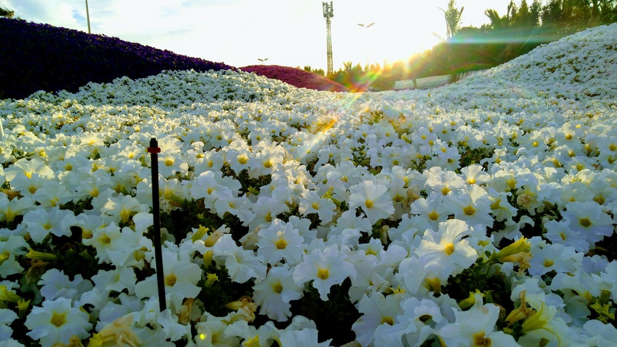 Immaculately White. A white species of Petunia is definitely a delight.