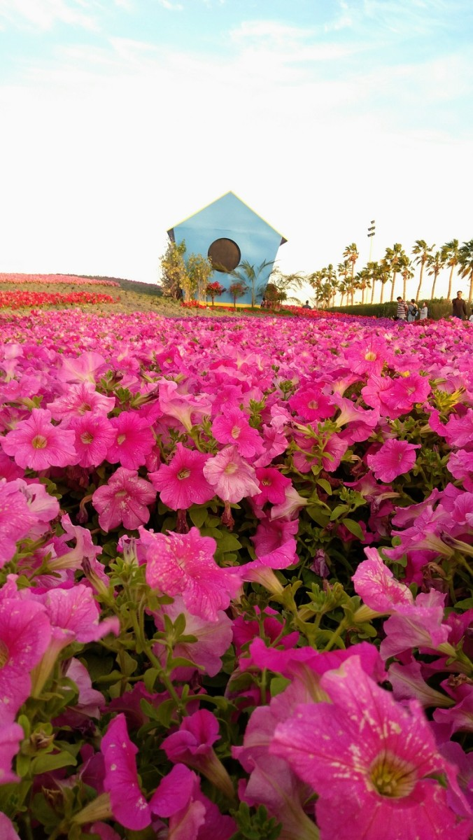 Color It Pink. An explosion of pink Petunia is one of the crowd favorites. #YanbuFlowersFestival2019