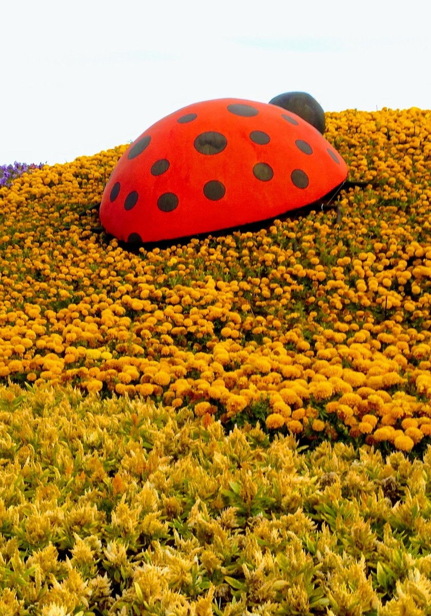 The Lady Bug. A huge Lady Bug looks like enjoying her way up to one of the colorful flower hills. #YanbuFlowersFestival2019