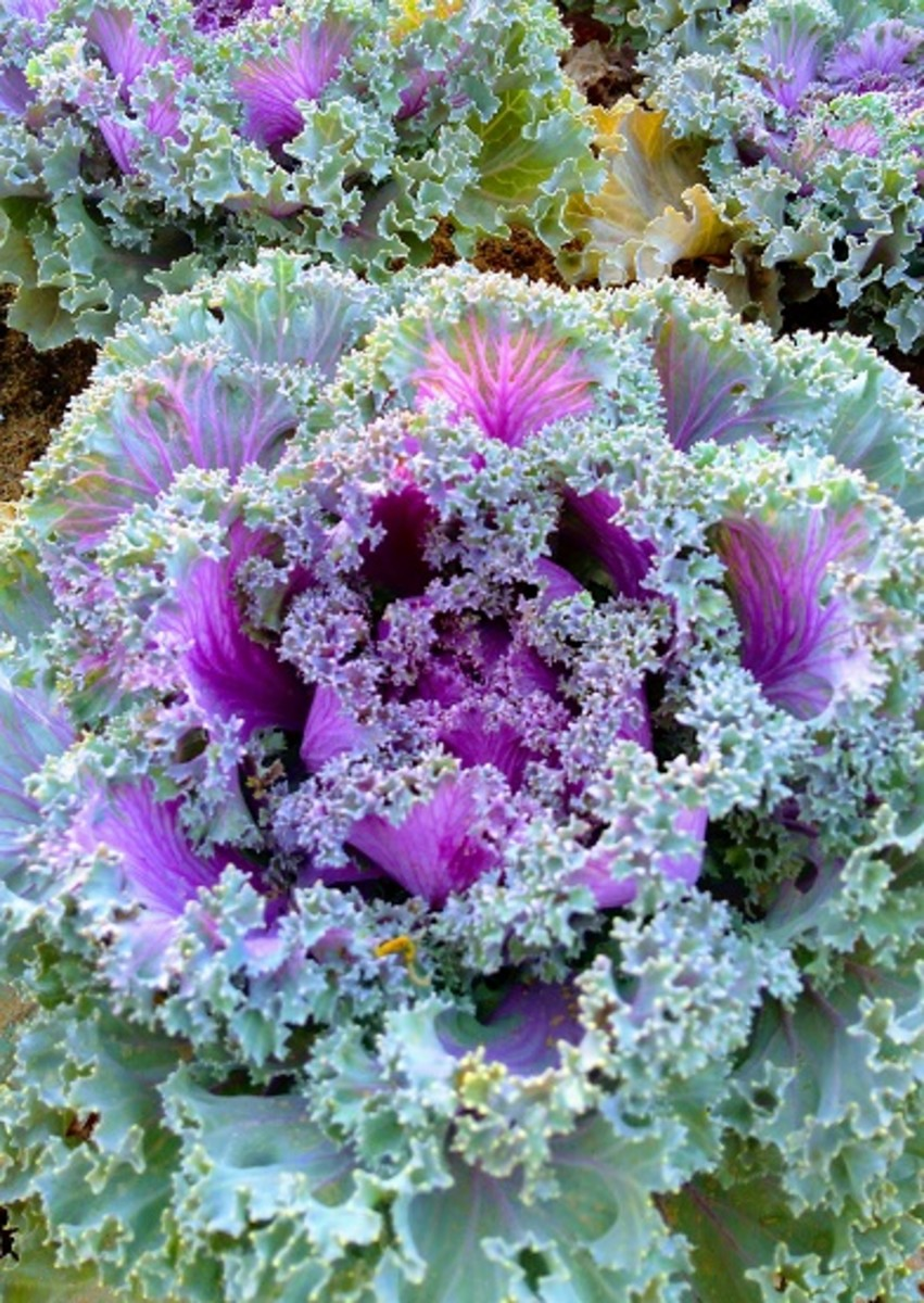 A Sci-fi Flower? A magnificent purple-colored flowering Kale is a blockbuster among the visitors. It looks like one of those flowers that you see in a sci-fi movie. #YanbuFlowersFestival2019