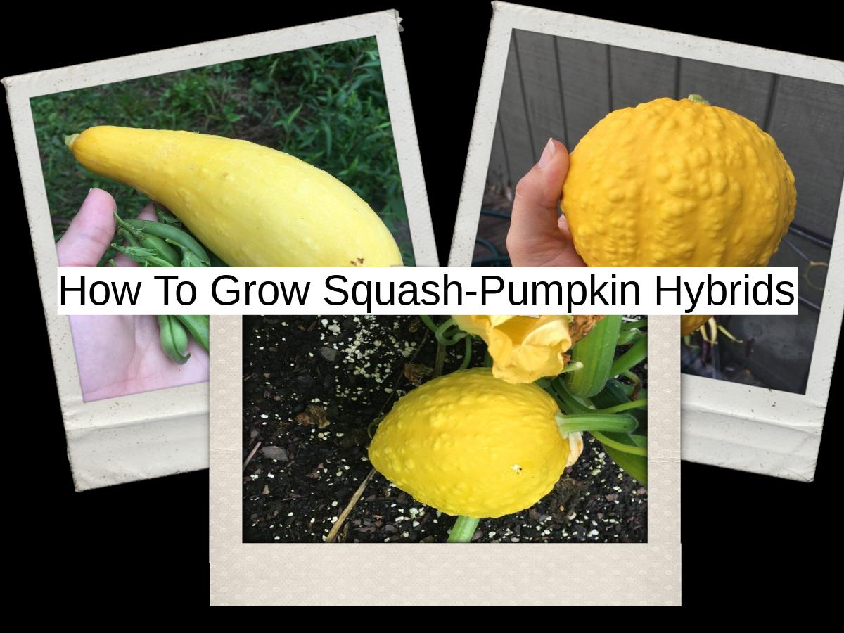 how-to-grow-squash-pumpkin-hybrids