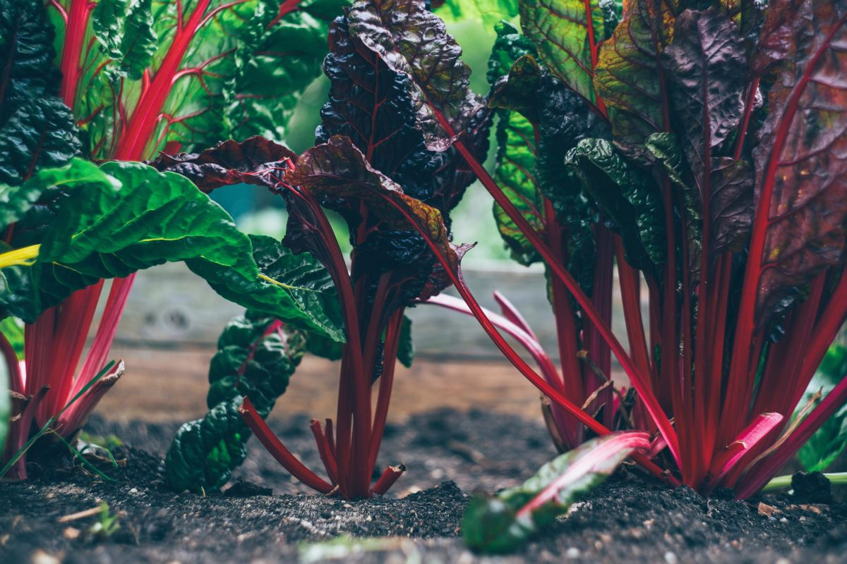 some nicely growing red swiss chard