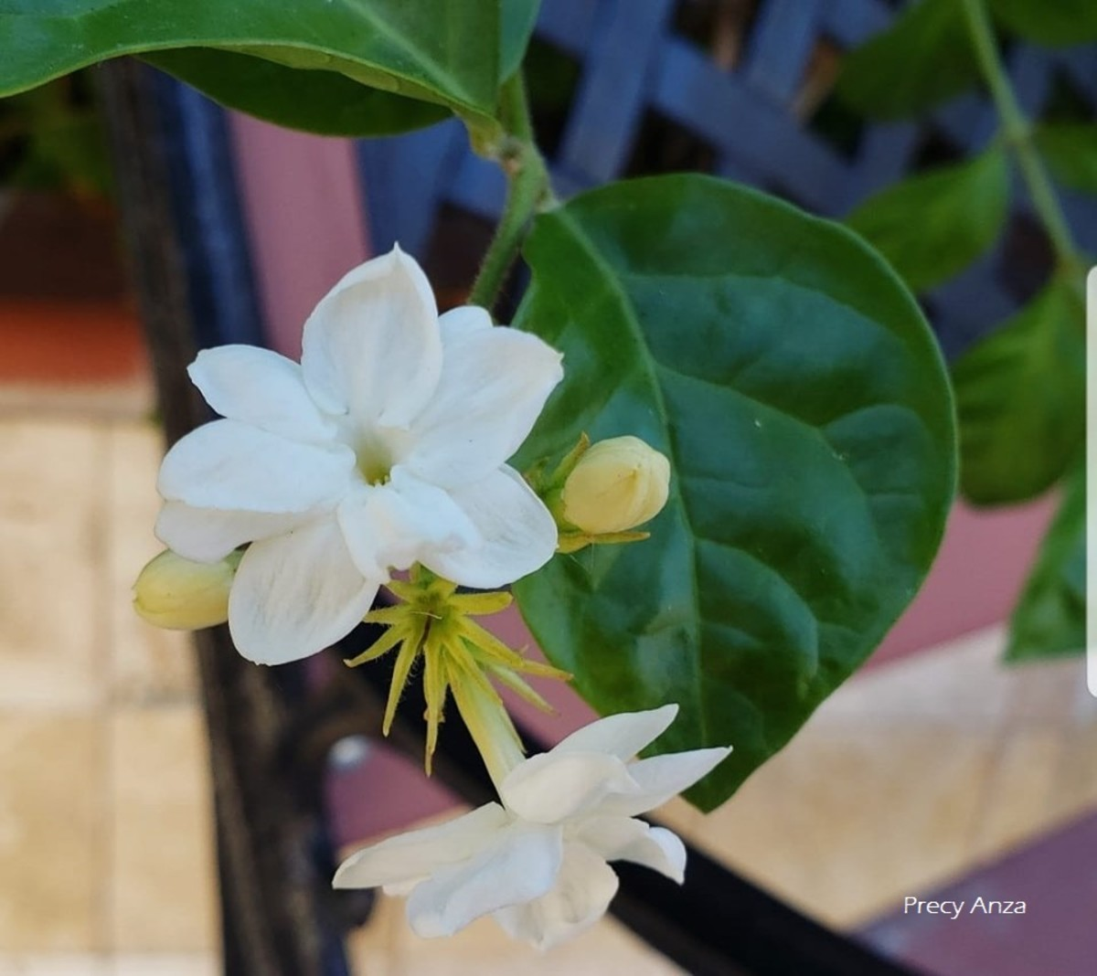 Jasminum Sambac - Symbolism, Photos and the Legend of the National Flower of the Philippines