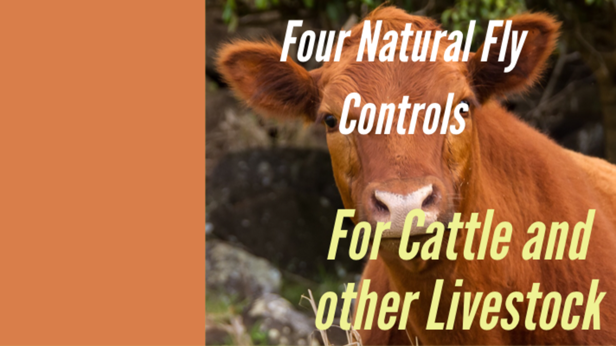 Four Natural Fly Controls for Cattle