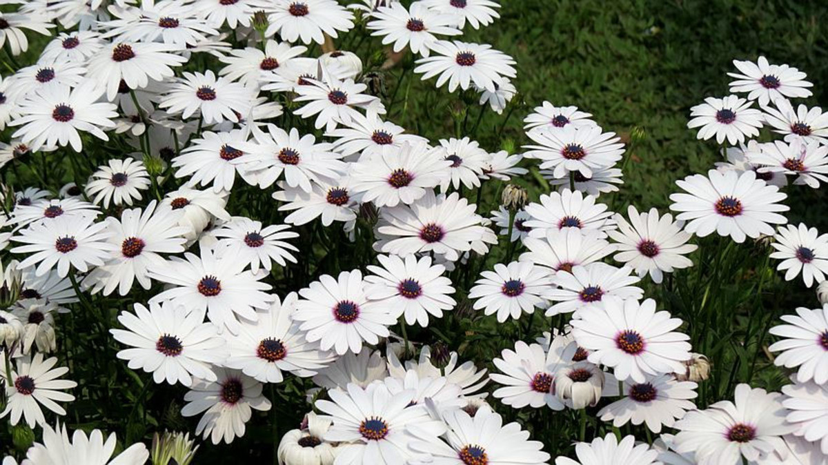 Pyrethrum flowers in full bloom