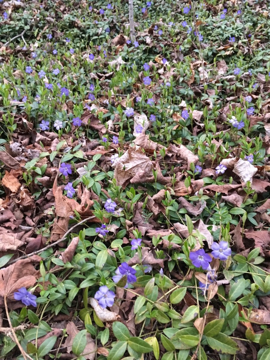 Picture of my yard filled with Periwinkles