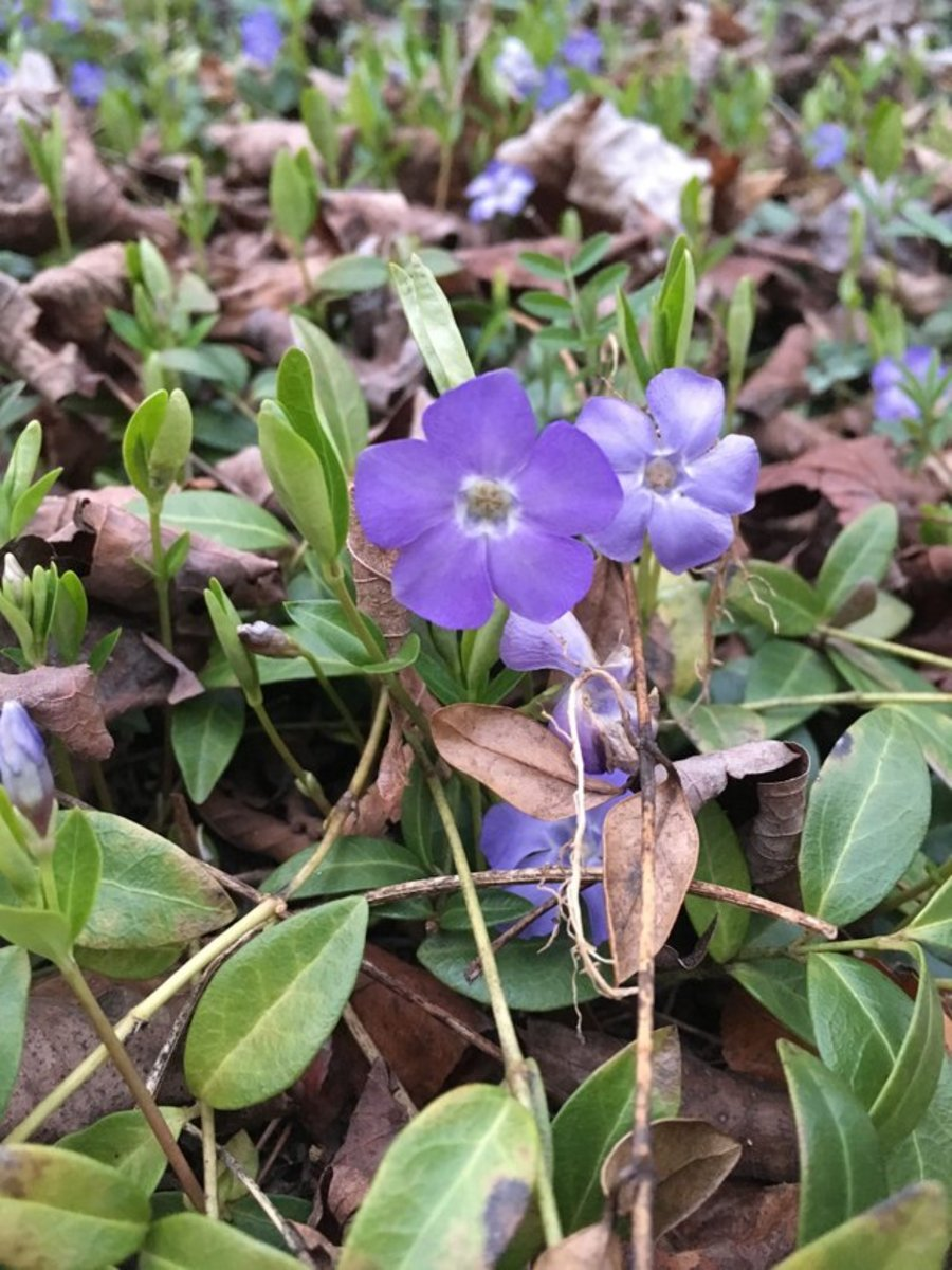 How Beautiful Periwinkles Can Make You Sick and Even Kill You