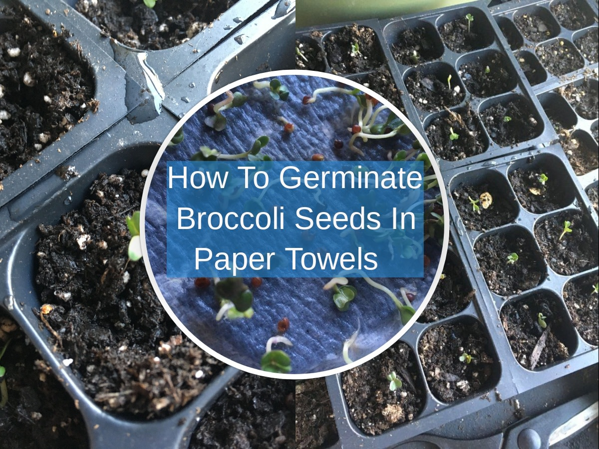 How Do You Germinate Broccoli Seeds in a Paper Towel?