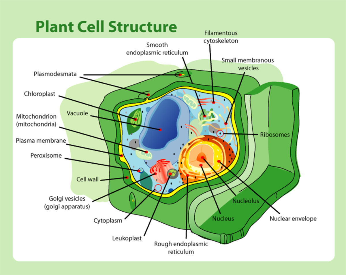 This is a plant cell structure. Shown in the picture the different parts of a plant cell.