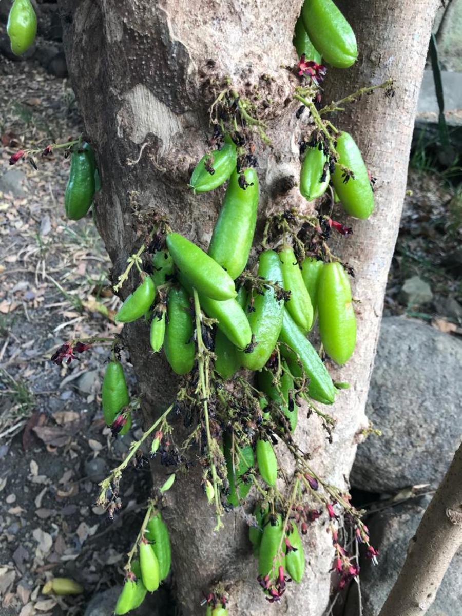 Kamias Tree