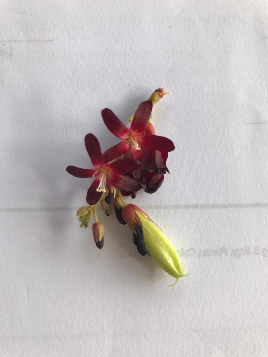 Kamias Flower