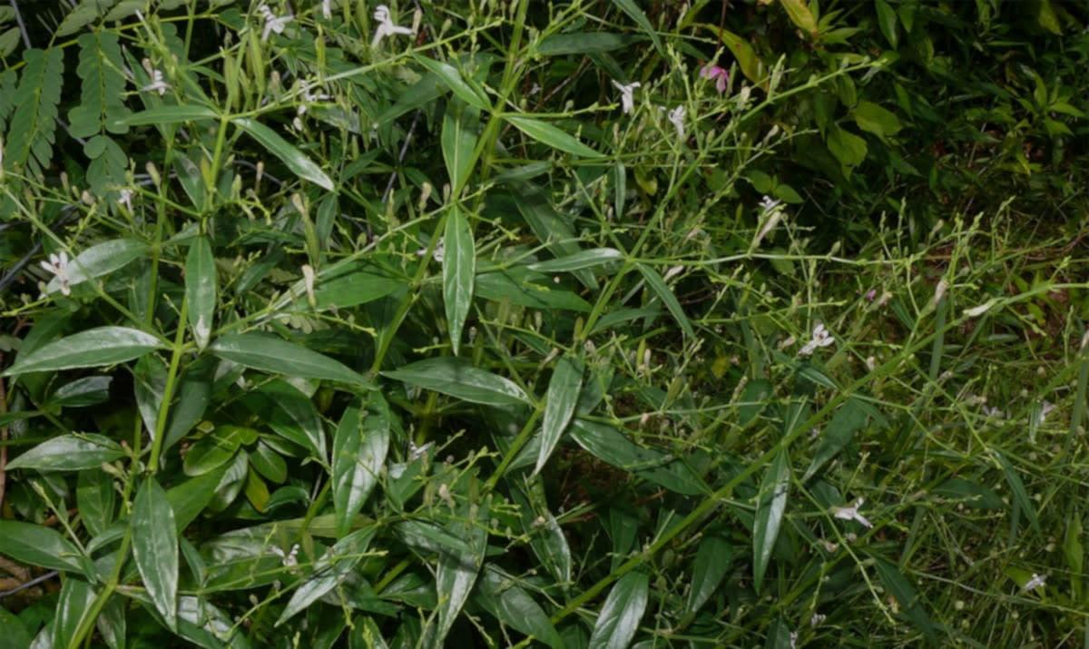 Kiratakitka plant in medicinal garden