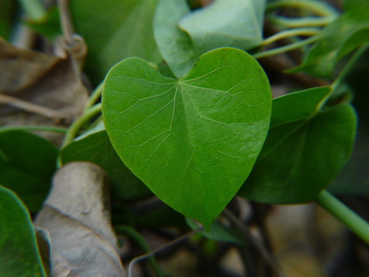 Heart-shaped leaf of Tinospora