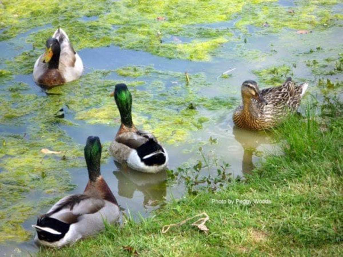 Two green-headed male Mallard ducks and company