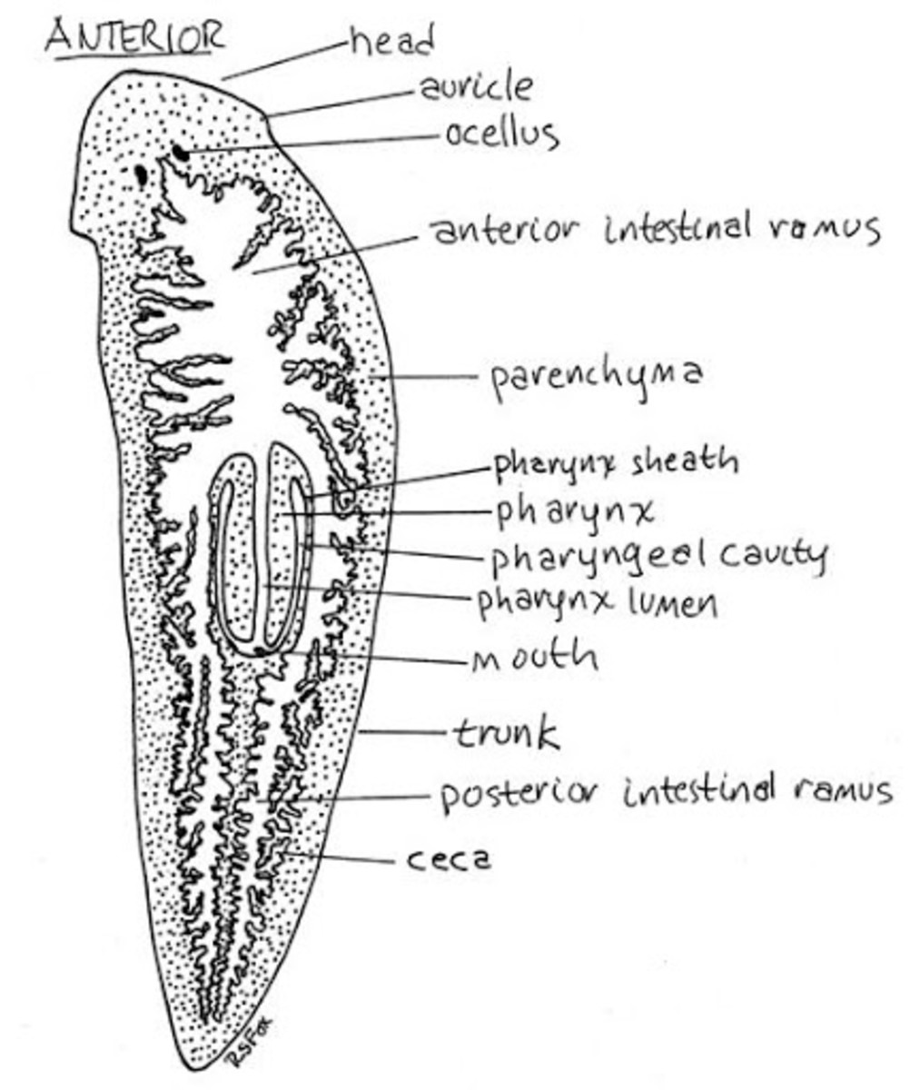 physiology-of-trematodes
