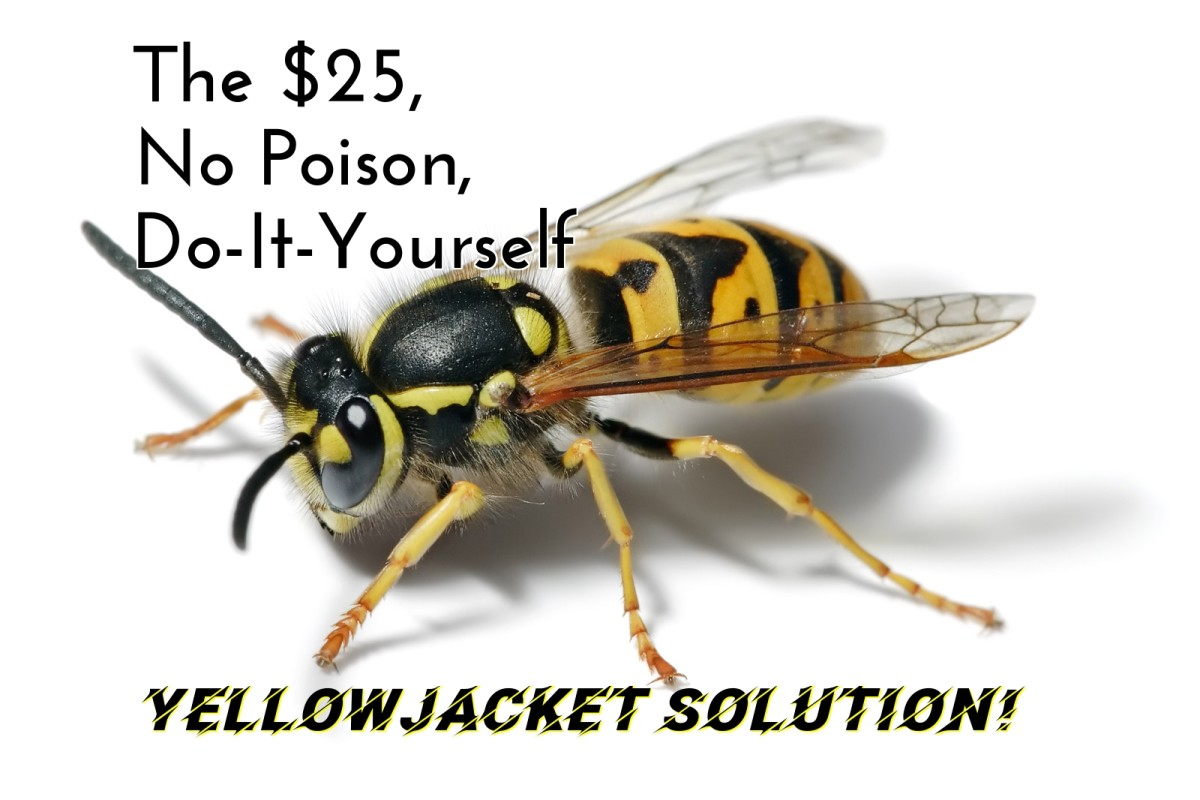 Yellowjacket wasps sting fiercely and build nests in the ground. It can be both expensive and dangerous to get rid of them!