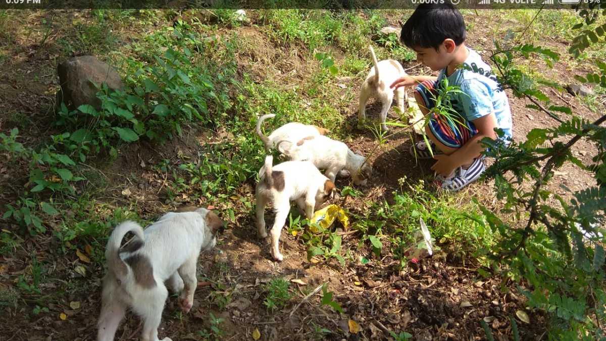 Indian Desi / Pariah / Pi Dog Puppies