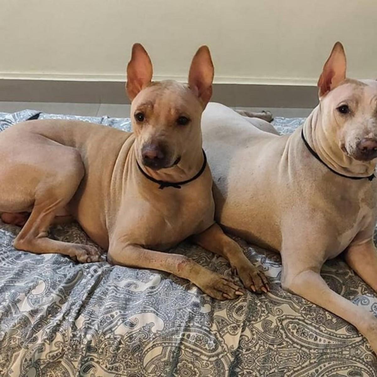 The Jonangi Dogs