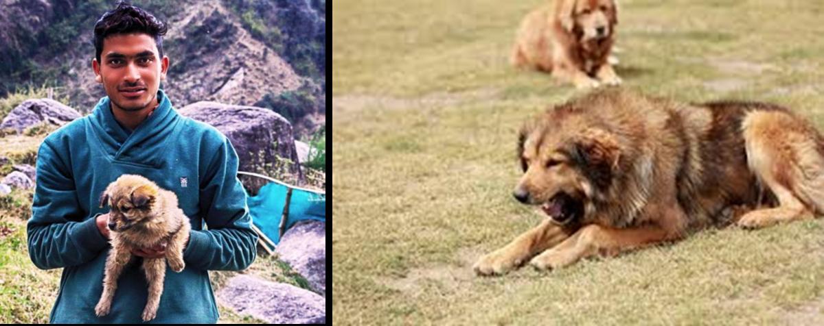 The Himalayan Gaddi Dog