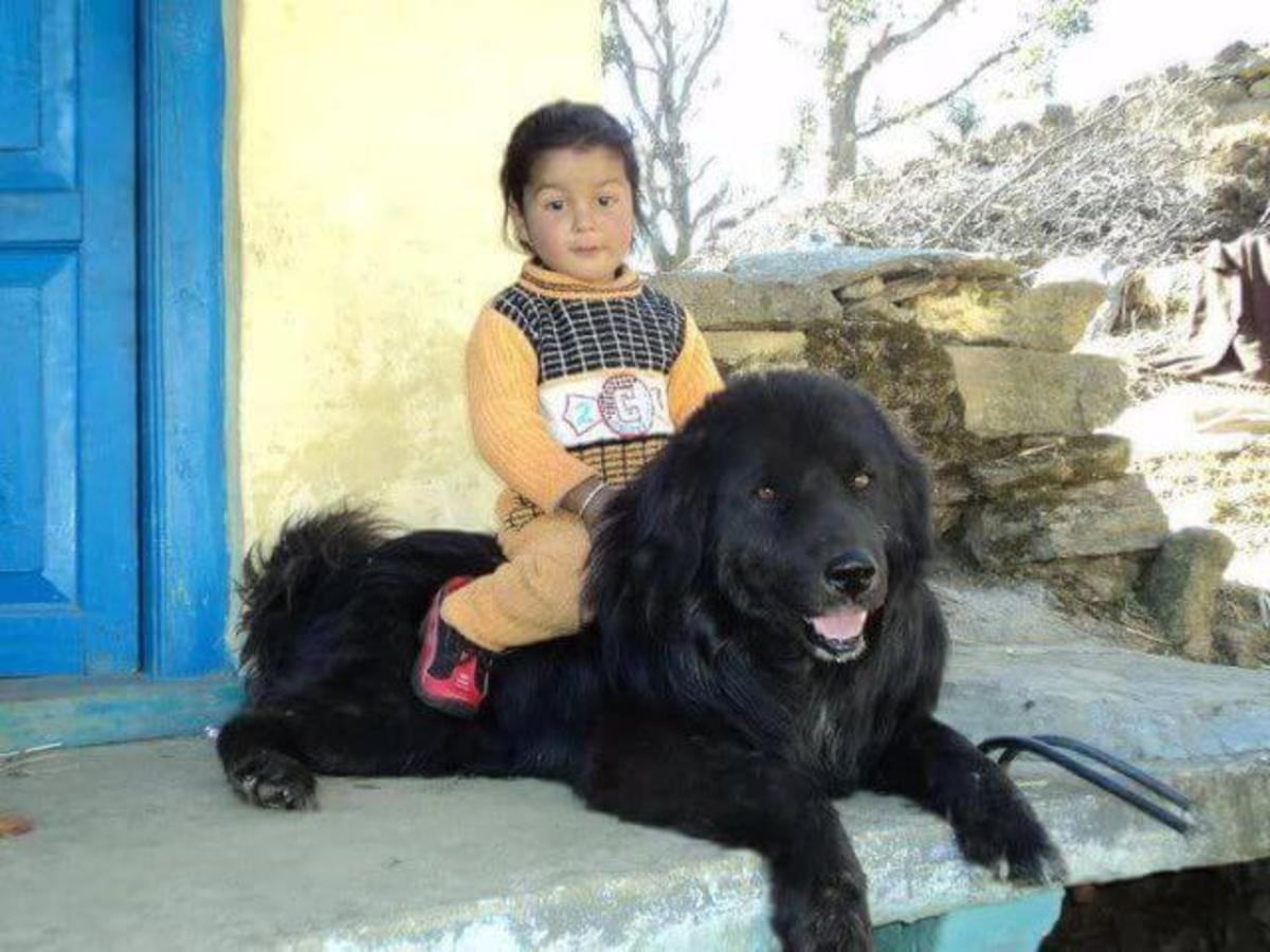 Bhotia / Bhutia Dog (Freely available dogs in India)
