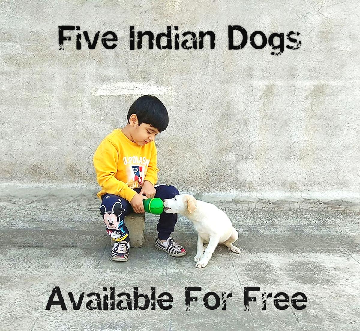 Indian Desi (Pariah) Dog