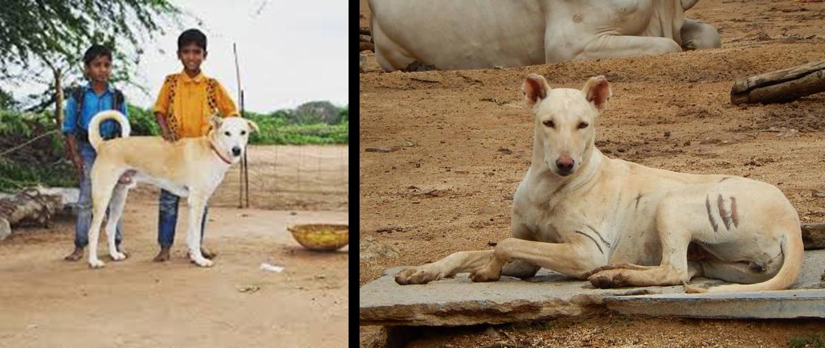 Pandikona, Indian Hunting Dog