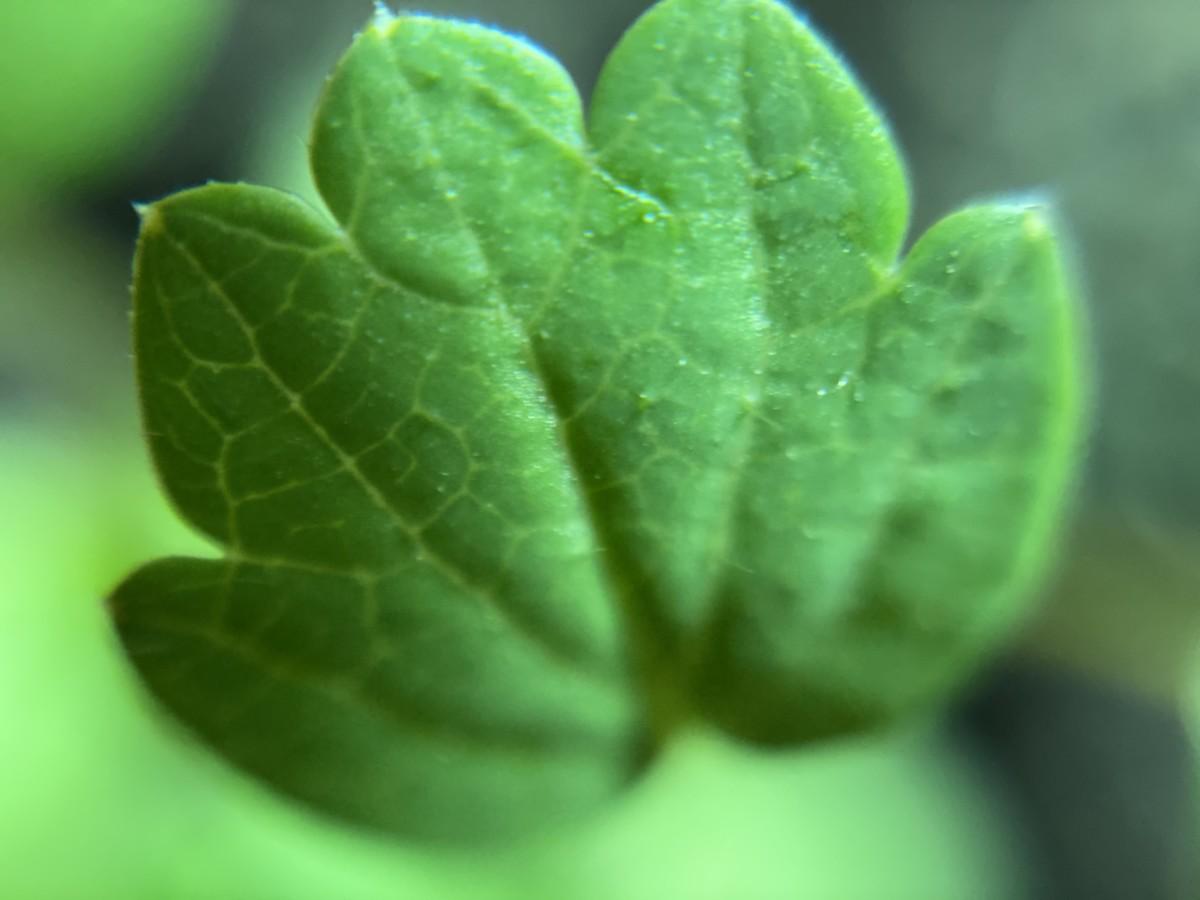 Macro image of strawberry seedling leaf