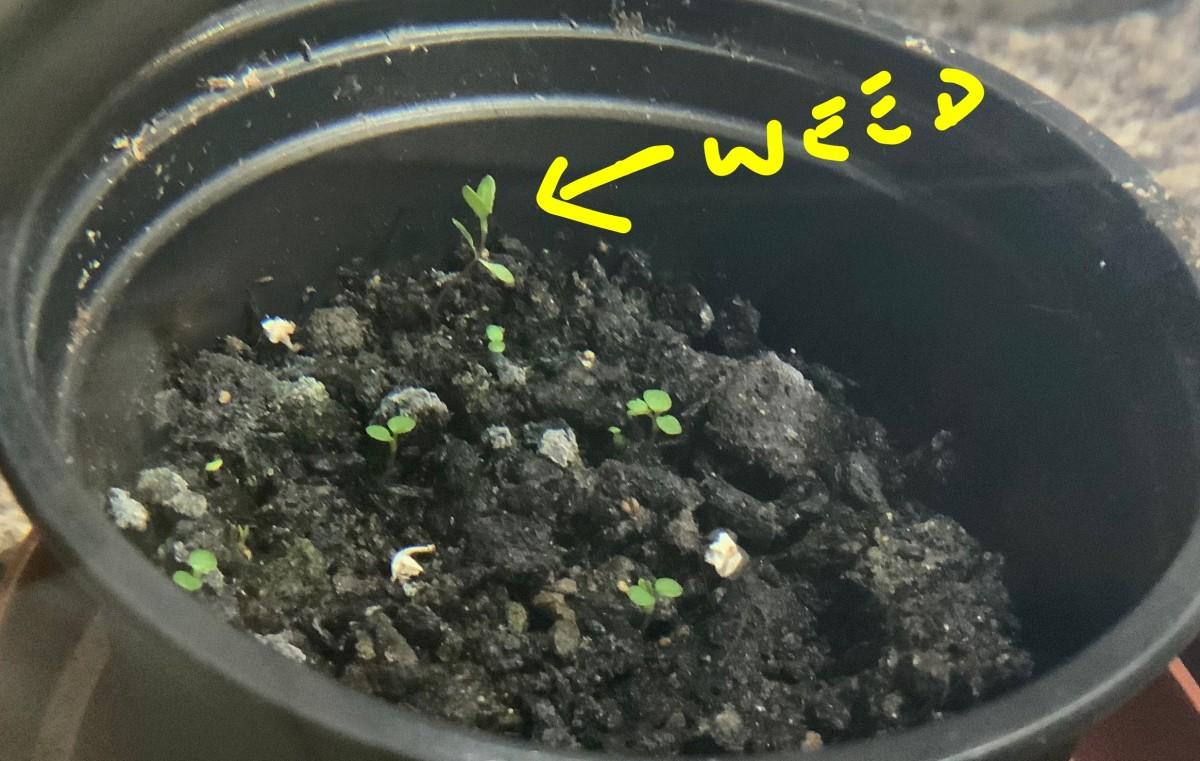 Weed seedling in pot